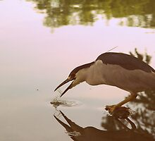 black crowned night heron ~ washing down a fish. by Trina King