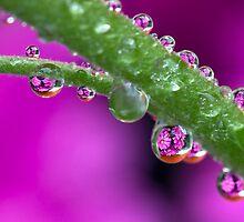 Chrysanthemum flower drops. by MickBourke