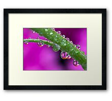 Chrysanthemum flower drops. Framed Print
