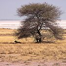 Lioness resting by globeboater