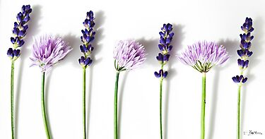 Lavender and Chives by Stephen Knowles