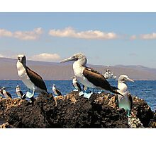 Blue Footed Boobies Photographic Print