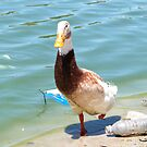 Little one legged duck hoping for a hand out.......He got it! by GreyFeather