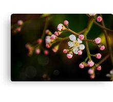 Apple Blossom. Maybe. Canvas Print