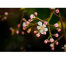 Apple Blossom. Maybe. Photographic Print