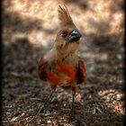 Juvenile Cardinal  by Saija  Lehtonen