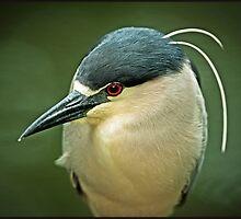 Black Crown Night Heron On The Hunt by Joe Jennelle