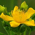Yellow Surprise by lorilee