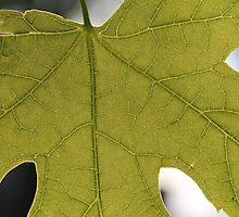 Innerworkings of a Maple Leaf by RandyOlson