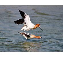 American Avocet Photographic Print