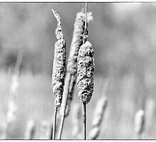 Reeds by adrianpym