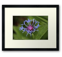 Centaurea closeup Framed Print