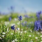 Bluebells in Sea Campion by Anne Gilbert
