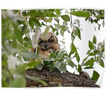 Owlet at Trout Creek  Poster