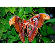 Atlas Butterfly Photographic Print