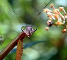 "Praying Mantis - ""Say cheese!"" by Paula Tohline  Calhoun"
