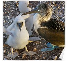 Blue footed booby chicks Poster