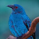 Female Asian Fairy Blue Bird by John Absher