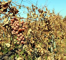 A white grape branch in the vineyard in the fall by VikaL