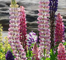 Lupines by Lynn Wiles