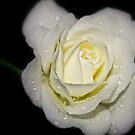 drops on a white rose at night by Ubernoobz