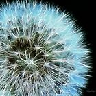 Kathie McCurdy Dandelion Seed Head by Kathie McCurdy