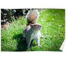 Squirrel @ Regents Park 2 Poster