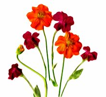 Kathie McCurdy Rose Campion and Cosmos Orange Flowers by Kathie McCurdy