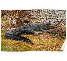Aliigator Portrait #1. Wetlands Park.  Poster