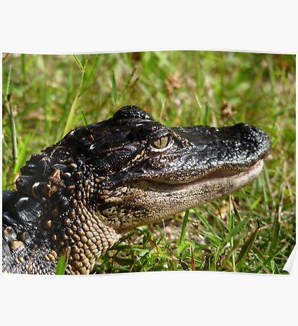 Alligator Portrait #2. Melbourne Shores. Poster