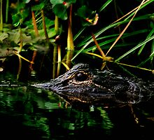 Alligator Portrait #3. Three Lakes W.M.A. by chris kusik