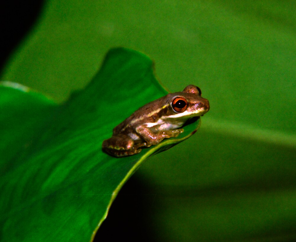 Tree Frog Portrait #1. by chris kusik