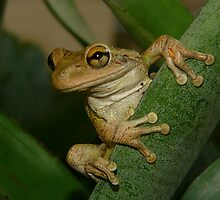 Tree Frog Portrait #2. by chris kusik