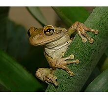 Tree Frog Portrait #2. Photographic Print