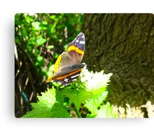 Red Admiral on shore leave Canvas Print