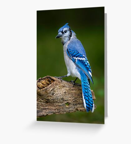 Stumped Blue Jay Greeting Card