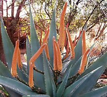 Aloe ferox Splendour by Maree Clarkson