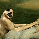 White Cheeked Gibbon by Sian Houle