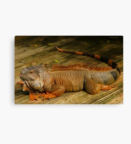 Iguana. Canvas Print