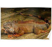 Iguana. Poster