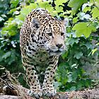 Jaguar by John Nelson