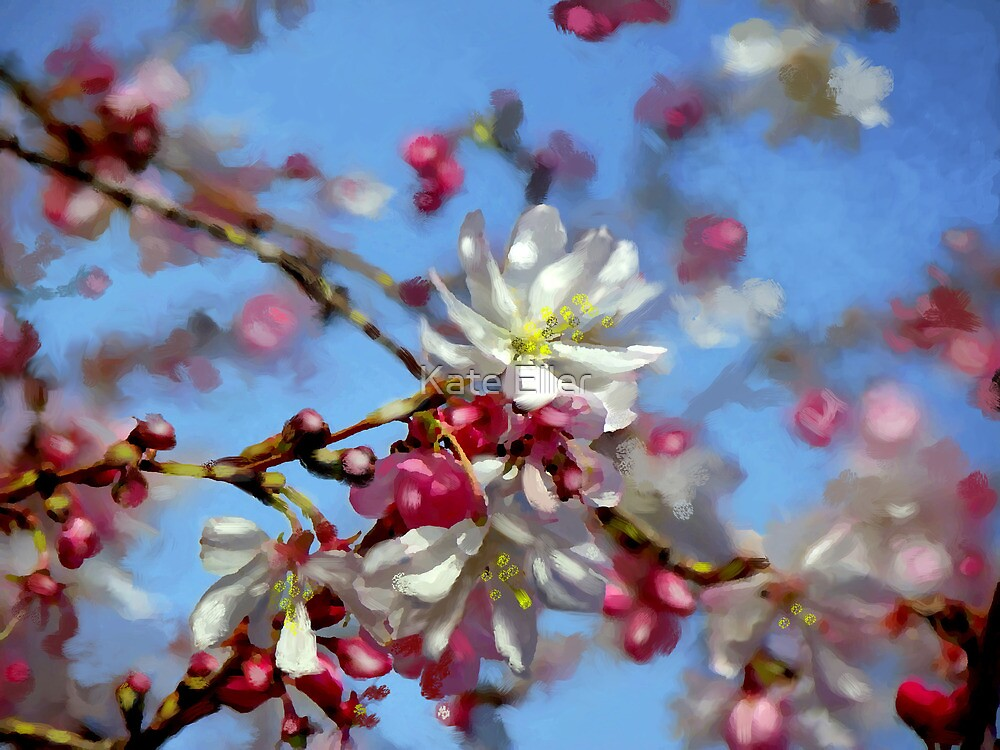 Cherry Blossoms by Kate Eller