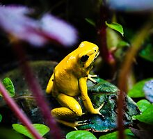 Golden Poison Dart Frog by TohoPhoto