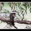 Kookaburra by Sharon Kohne