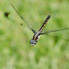 Common Baskettail in Flight by Briar Richard