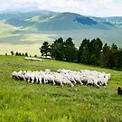 Tending the flock, Sibillini Mountains, Umbria by Andrew Jones
