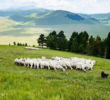 Tending the flock, Sibillini Mountains, Umbria by Andrew Jones