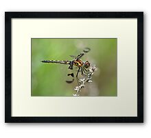 Gorgeous Female Calico Pennant. Framed Print