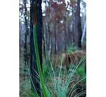Grass Tree (Xanthorrhoea) Photographic Print