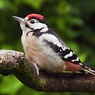 Great Spotted Woodpecker (Dendrocopos major) by Steve  Liptrot